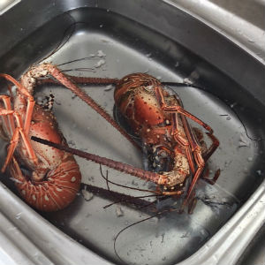 Cleaning lobster in the sink